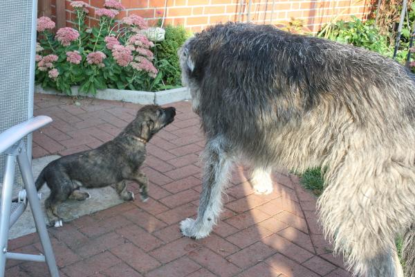 gewicht irischer wolfshund